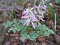 Corydalis solida - Flickr - peganum.jpg