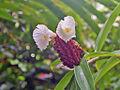 Costaceae - Costus speciosus.jpg