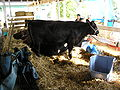 Cow at Ulster County Fair.JPG