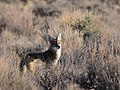 Coyote on Seedskadee National Wildlife Refuge (51373529247).jpg