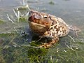 Crapaud commun (Bufo bufo) parasité par Lucilia bufonivora (3) - Baie de Somme.jpg