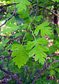 Crataegus monogyna leaves.jpg