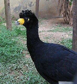Black curassow species of bird