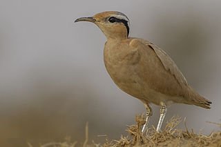 Cream-colored courser Species of bird