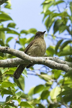 Cream-vented Bulbul - Meru Betiri NP - East Java MG 7124 (29505244713).jpg