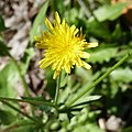 Crepis foetida inflorescence (29).jpg