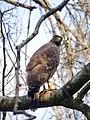 Crested Serpent Eagle in Yala Sanctuary.jpg