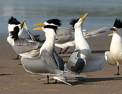 Group of crested terns displaying