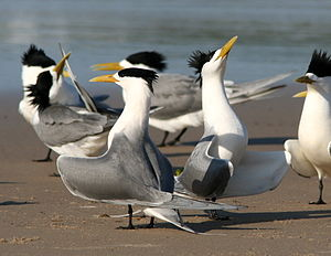 Group of greater crested terns displaying