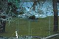 Crocodile in vere river.JPG