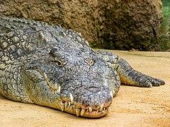Crocodylus niloticus im Kölner Zoo -20110912-RM-141253.jpg