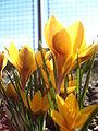 Crocus Spring.JPG