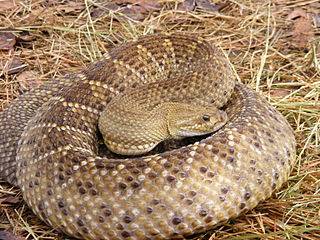 <i>Crotalus basiliscus</i> species of reptile