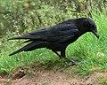 Crow at Kinver Edge - geograph.org.uk - 847977.jpg