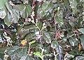Cryptocarya-foetida2Flowers.JPG