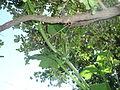 "Cucurbita argyrosperma ""calabaza rayada o cordobesa"" (Florensa) yema floral femenina F01 inserción ovario en pedúnculo tallo anguloso 2.JPG"