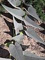 Cucurbita foetidissima (Buffalo Gourd) IGHU2QO3G9O2GW3.jpg