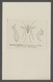 Culex - Print - Iconographia Zoologica - Special Collections University of Amsterdam - UBAINV0274 038 02 0002.tif