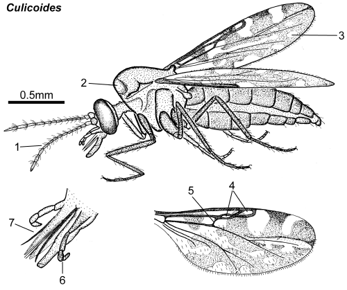 Culicoides female lateral.png