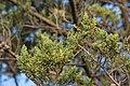 Cupressus macrocarpa Villeneuve-lès-Maguelone 03.jpg