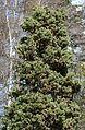 Cupressus sempervirens - Flickr - S. Rae.jpg