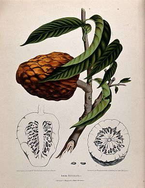 Custard apple - Custard apple: fruiting branch with sections of fruit and seeds.