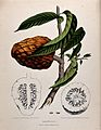Custard apple or Bullock's heart (Annona reticulata L.); fru Wellcome V0042682.jpg