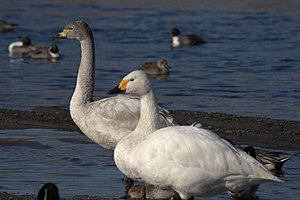 Tundra swan - Adult (front) and half-year-old immature Bewick's swans (C. c. bewickii) wintering in Saitama (Japan)