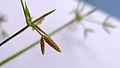 Cyperus spikelet (16001805871).jpg