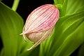 Cypripedium macranthos '-1905 Kawai' Sw., Kongl. Vetensk. Acad. Nya Handl. 21 251 (1800) (40911294843).jpg