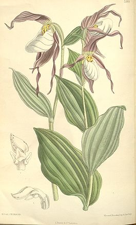 Cypripedium montanum 1.jpg