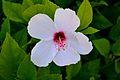 Cyprus Flower (7537491664).jpg