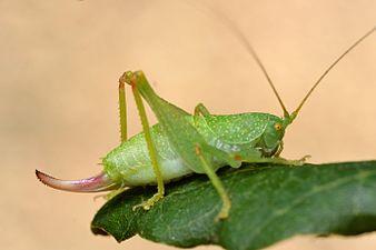Cyrtaspis scutata female (31035949504).jpg