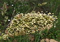 Dactylis glomerata anteres.JPG