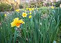 Daffodils (7013580353).jpg