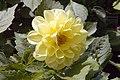Dahlia Figaro Imp 0zz.jpg
