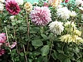 Dahlia from lalbagh 1939.JPG