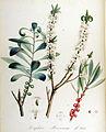 Daphne mezereum — Flora Batava — Volume v14.jpg