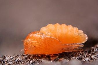 Dasineura brassicae pupa (23960482154).jpg