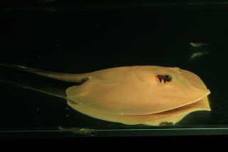 Mekong freshwater stingray species of fish