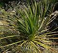 Dasylirion leiophyllum 1.jpg