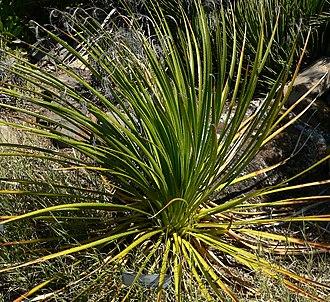 Dasylirion leiophyllum - Image: Dasylirion leiophyllum 1