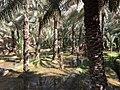 Date palm tree irrigation.jpg