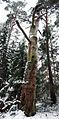 Dead tree Yyteri.jpg