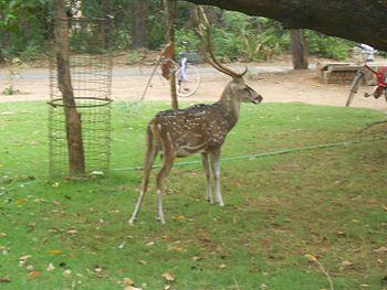 Deer in Chennai.jpg