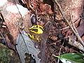 Dendrobates tinctorius03.jpg