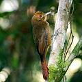 Dendrocincla turdina-Plain-winged Woodcreeper.JPG
