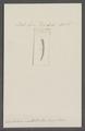 Dentalium multistriatum - - Print - Iconographia Zoologica - Special Collections University of Amsterdam - UBAINV0274 081 10 0029.tif