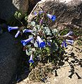 Desert Bells of Blue.jpg