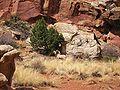 Desert Bighorn 1.jpg